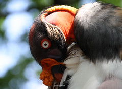20-IMG_2377 (hemingwayfoto) Tags: berlin geier knigsgeier lebewesen tier tierauge vogel zoo