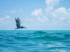 Water Glider.  (gusdiaz) Tags: beach olympus tg4 summer miami fl haulover pelican pelicano flying volando sea waves sand beautiful relaxing gliding glider