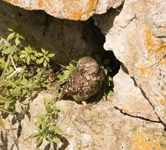 Little Owl (chitsngiggles) Tags: portlandbill nature wildlife birds owls littleowl owl