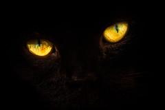 'Henri' (Jonathan Casey) Tags: cat eyes black background amber macro nikon d810 zeiss 135mm aposonnart2135 portrait carlzeiss