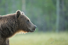 Brown Bear (Will Nicholls) Tags: bear sunset portrait brown detail male green backlight magazine fur big europe european looking close bokeh head background space side large ears sharp flies backlit fullframe eurasian mosquitos ursusarctos rimlight ursusarctosarctos