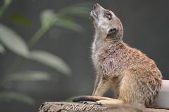 Lieber Gott, lass es lnger Wochenende sein (n.intveen) Tags: zoo erdmnnchen