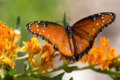 Queen Butterfly (sjordantex) Tags: flowers orange canon butterfly colorful explore nationalwildliferefuge hagermannwr 70d queenbutterfly inexplore canon70d capturedallas capturedallaspod