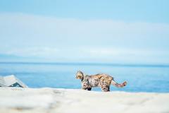(Tridentz | ) Tags:  sea sky blue cat meow neko shikoku aoshima japan           a7 alpha alpha7 sony gmaster gm gm85 fe fe85 85mm f14 minimalism