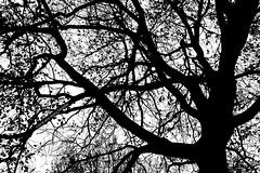 El rbol enmaraado  The tangled tree (Ana Lpez Heredia) Tags: analpezheredia canoneos600d canon eos 600d tamron18270mmf3563diiivcpzd tamron rbol tree ramas tronco quimas hojas leaves contraluz blancoynegro blackandwhite blanco black white negro enmaraado tangled roble quercusrobur cantabria latierruca obregn