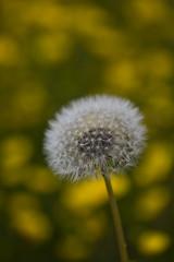 Dandelion (markusbeyer1) Tags: canon5dsr canon180mmf35 macro bokeh depthoffield yellow yellowflowerfield lwenzahn