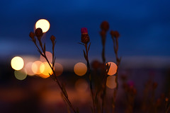 Flowers every night Blossom in the sky; Peace in the Infinite, At Peace am I. Rumi (azyef94) Tags: bokeh nightphotography night flower flowerphotography photography nature naturephotography nikonphotography flickrnature bokehawards extremebokeh ph nikonflickraward quotes rumiquote