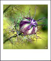 Le jardin du chteau (1) (au35) Tags: flower macro nature fleur nikon jardin macrophotographie nigelle d5000 chateaudebressuire