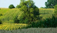 Dominuje kukurydza (Hejma (+/- 4500 faves and 1,5milion views)) Tags: tree field for google corn market wheat poland translate chiaroscuro finder harvesttime bibice businesstranslator toolkitwebsite translatorglobal