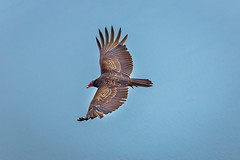 Soaring (Sonarsgs) Tags: nature birds wings wildlife flight vulture gliding
