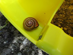 My laundry assistant (Explored) (JulieK (moving house, very busy)) Tags: ireland irish nature fauna garden wildlife cork snail newmarket mollusc hss inexplore snailsaturday canonixus170