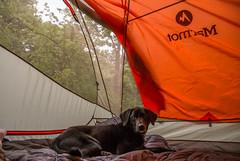 Cortana - Camping at Fort Ridgely (Tony Webster) Tags: statepark camping dog minnesota us unitedstates tent blanket marmot fairfax campsite cortana fortridgelystatepark rumpl marmottungsten3p rumplblanket tungsten3p