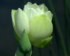 Green Goddess (KsCattails) Tags: summer white flower water blackbackground nikon lotus missouri bud powellgardens d7000 kscattails