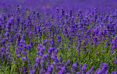 Organic lavender (Anthony White) Tags: uk summer england green nature field horizontal nopeople growth organic epsom 2016 fragility