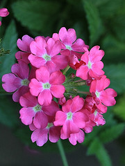 Pink Flowers Macro (hbickel) Tags: pink flowers macro macrolens photoaday pad canont6i canon