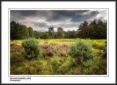 Heyshott Common (Chalky666) Tags: landscape common heather moors tree trees wood woodland painterly art southdowns westsussex