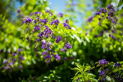 Summer Stories (moaan) Tags: flower flowering flora duranta kobe hyogo japan jp brazilianskyflower bokeh dof utata 2016 leica mp leicamp type240 summilux 50mm f14 summilux50mmf14asph summer july