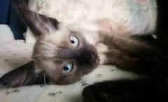 Qu miuamiras? (EMAFotografas) Tags: gato gatete mascota cachorro gatos miau mew nya cat chat animal animales animaldomestico