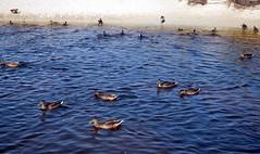 Menorca. Son Bou. 1 (joseluisgildela) Tags: menorca sonbou playas patos