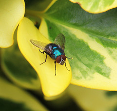 Fly on griselinia: 18.7.16. (VolVal) Tags: dorset bournemouth boscombe garden insect fly leaf griselinia july