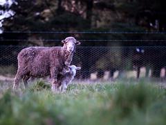 Ewe and lamb (Rachel-G) Tags: farming australia merino orphan lamb livestock ewe