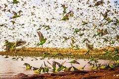 IMG_7241.jpg (Paul Williams www.IronAmmonitePhotography.com) Tags: bird budgerigar summer murmuration dryseason melopsittacusundulatus australia
