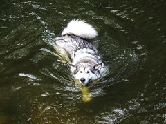 Jasper swimming (pauldyus) Tags: malamute
