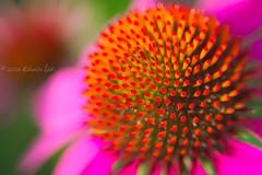 RG_306 ( Ed Lee) Tags: nikon 7100 tokina 1228 richmond green morning overcast garden floral flower portrait color contrast closeup macro bokeh petal plant bright depthoffield outdoor