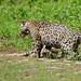 Jaguars (Panthera onca) : catfight ...