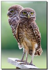 Posers (Fraggle Red) Tags: florida browardco coopercity brianpiccolopark avianphotography bird birdofprey owl burrowingowl athenecunicularia endangered posing adobephotoshopcc adobelightroomcc sigma150600mmf563dgoshsm