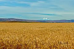 Mount Adams (joeinpenticton Thank you 1.1 Million + views) Tags: mount adams washington mary hill goldendale maryhill centerville wheat field farm ranch joe joeninpenticton jose garcia view klickitat valley county america