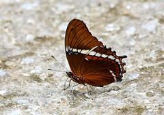Rusty-tipped Page------ Siproeta epaphus (creaturesnapper) Tags: lepidoptera butterflies borinquenmountainresort rincondelavieja costarica nymphalidae rustytippedpage siproetaepaphus