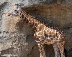 Giraffa camelopardalis (Ignacio Ferre) Tags: bioparc valencia jirafa sabana mammal mamfero nikon animal giraffidae giraffacamelopardalis giraffa jirafabaringo