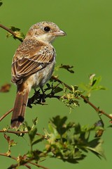 Juvenile Woodchat Shrike (Ady G.) Tags: rspb 1d4 dorset canon woodchatshrike