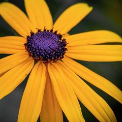 Sonnenhut (kathrin275) Tags: sonnenhut natur nature pflanze blume blte blossom garten garden gelb yellow outdoor