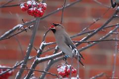 Bohemian Waxwing (huntsbirds) Tags: birds