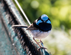 Male Superb Fairywren (Merrillie) Tags: uminabeach nikon nature australia birds d5500 nswcentralcoast newsouthwales superbfairywren beach wildlife centralcoastnsw umina fairywren photography fauna outdoors animals wren centralcoast oceanbeach nsw