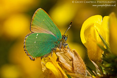 Little Gem - Green hairstreak (Callophrys rubi) on Gorse (gcampbellphoto) Tags: county macro nature butterfly insect wildlife invert biodiversity antrim ballycastle greenhairstreak callophrysrubi gcampbellphoto