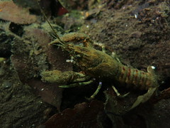 Crayfish, Schmaler Luzin (yayapapaya77) Tags: lake leaves germany see sand underwater crawfish diving crayfish bltter feldberg krebs mecklenburgvorpommern tauchen unterwasser flusskrebs schmalerluzin feldbergerseenlandschaft canonpowershotg15
