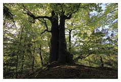 In a new green / Im neuen Grün (hubert.sigl1) Tags: shadow green outdoor pflanze grün baum beech gegenlicht buche sillhuette contrejoure fotorahmen