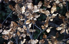 Hojas secas (Ivan Mauricio Agudelo Velasquez) Tags: planta hoja nature germany arbol flora rama botanica