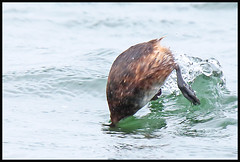 Going for it (M_squared Images) Tags: hants littlegrebe tachybaptusruficollis roughwater strongwinds blashfordlakes msm1935