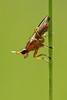Ilione albiseta (probable id) (Ian Redding) Tags: uk nature fauna insect fly wildlife british invertebrate arthropod diptera truefly trueflies
