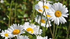 mai 2015 267 (toutenrando) Tags: nature marche chévres vivre marcher respirer randos mai2015