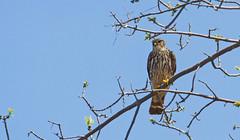 Broad-winged hawk (Immature) (nature_photonutt (Sue)) Tags: immature broadwingedhawk ironbridgeontariocanada
