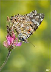 Rareza de la naturaleza (- JAM -) Tags: naturaleza flower macro nature insect nikon flor explore jam mariposas d800 insecto macrofotografia explored lepidopteros juanadradas