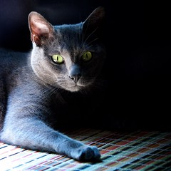 Blue in Black Curtains 02 (The Good Brat) Tags: light portrait window cat pose us feline co curtains drapes russianblue