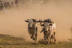 Bull race (imtiazchaudhry) Tags: sport popular animals oxen yolk pairs run distance sledge timekeepers jockey crowd dust debris travel