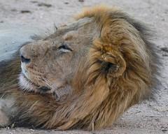 Napping (MarcCooper_1950) Tags: lion lioness africa wild wildlife bush safari bigfive predator bigcats biggame animals feline fauna goldenhour sabisands arathusa lodge marccooper panasonic lumix fz1000 leica iightrrom hdr
