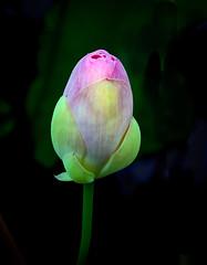 Lotus Birth (jhambright52) Tags: macroflowers macro japaneselotus lotus lotusblossum